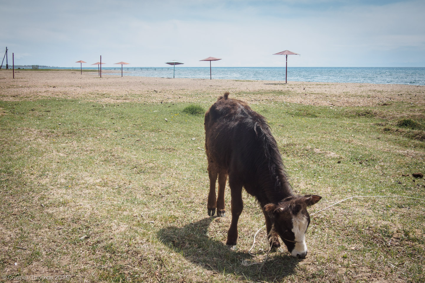Cow grazing on Tamchy beach