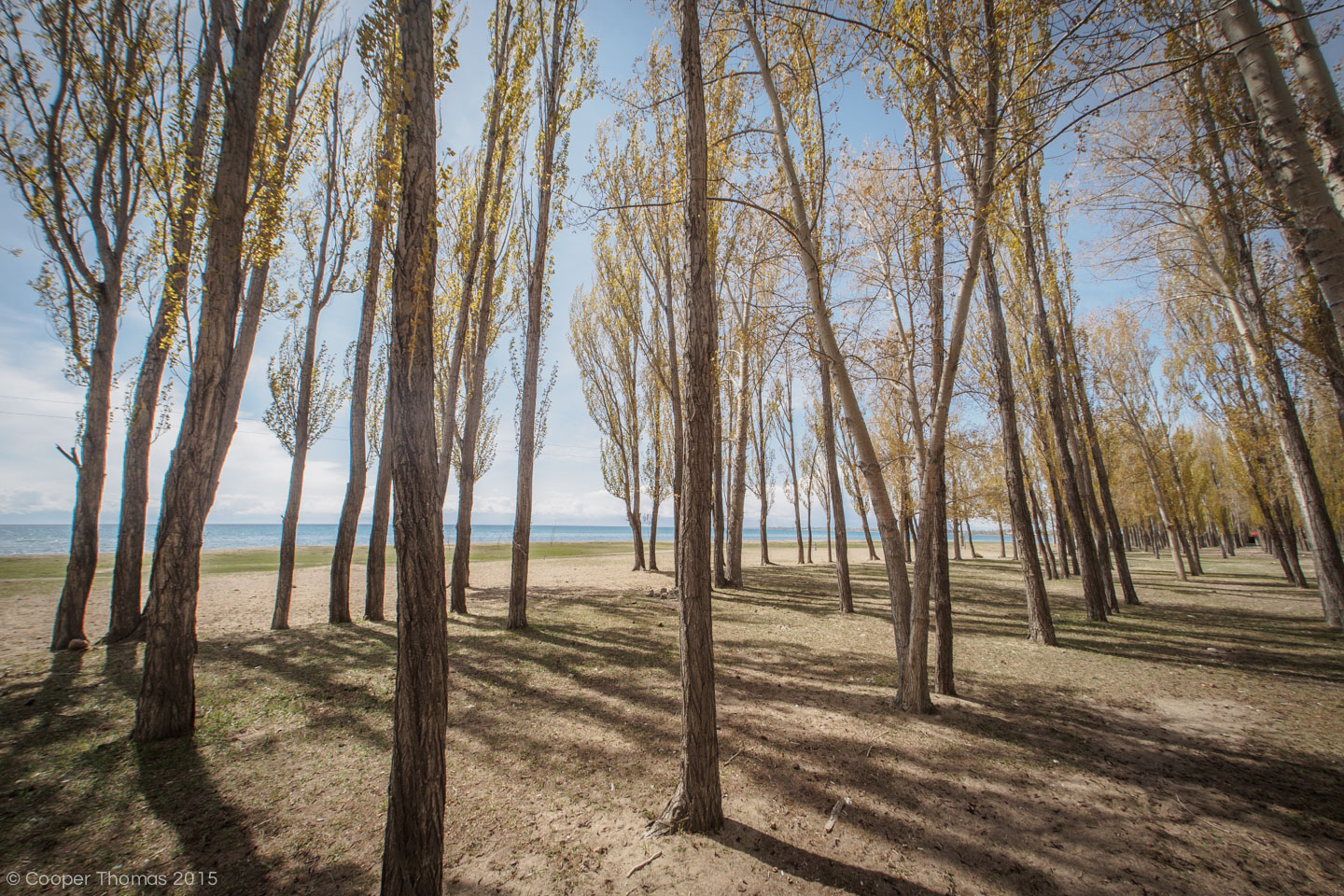 Poplar trees in Tamchy
